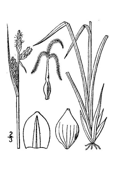Carex livida line drawing Britton, N.L., and A. Brown (1913); downloaded from USDA-Plants Database.