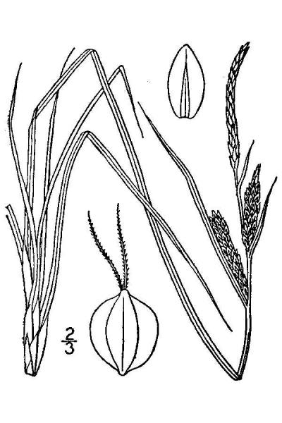 Carex nigra line drawing Britton, N.L., and A. Brown (1913); downloaded from USDA-Plants Database.