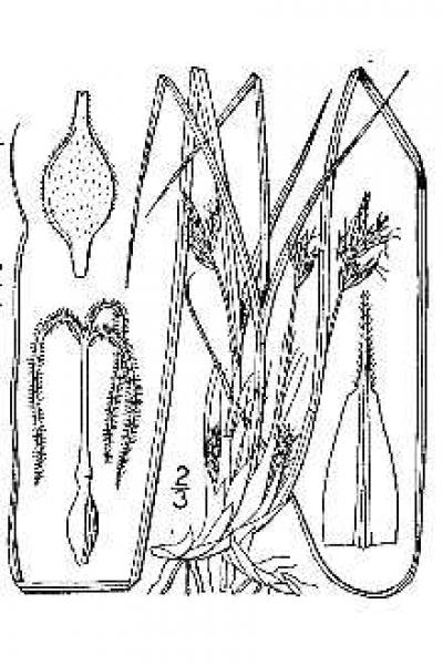 Carex nigromarginata line drawing Britton, N.L., and A. Brown (1913); downloaded from USDA-Plants Database.