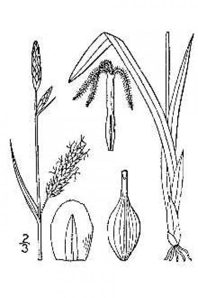 Carex polymorpha line drawing Britton, N.L., and A. Brown (1913); downloaded from USDA-Plants Database.