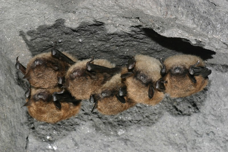 Little Brown Bat (Myotis lucifugus) Al Hicks