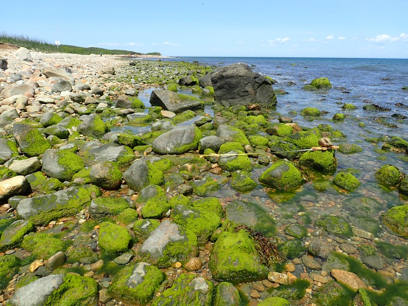 Upper intertidal zone dominated by green tubeweed (Ulva intesinalis) at Montauk Point in early summer. Gregory J. Edinge
