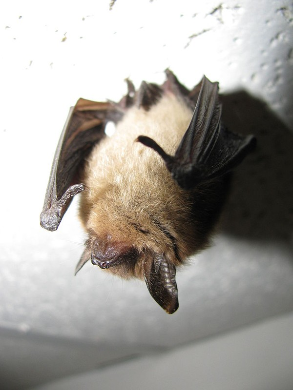 Northern Bat (Myotis septentrionalis) Jomegat