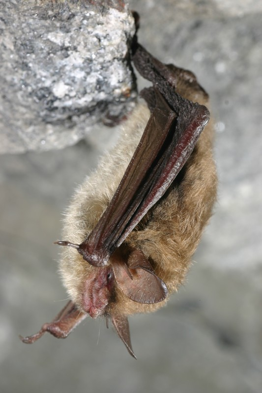 Northen bat (Myotis septentrionalis) Al Hicks, NYSDEC