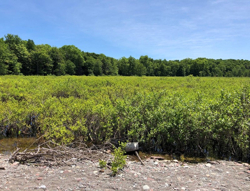 Shrub swamp dominated by buttonbush (Cephalanthus occidentalis) at Sterling Nature Center. Don Faber-Langendoen